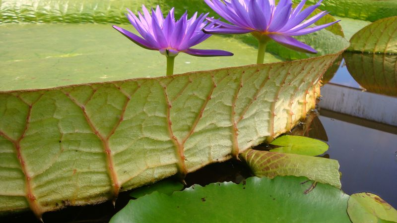 Side view Amazonica