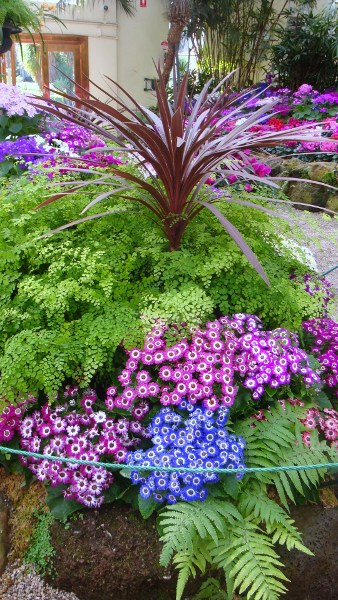Ferns and cinerarias