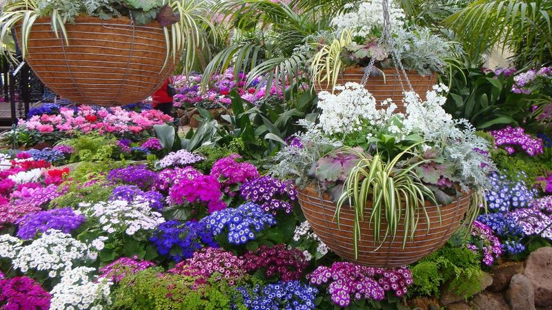 Large baskets and cinerarias